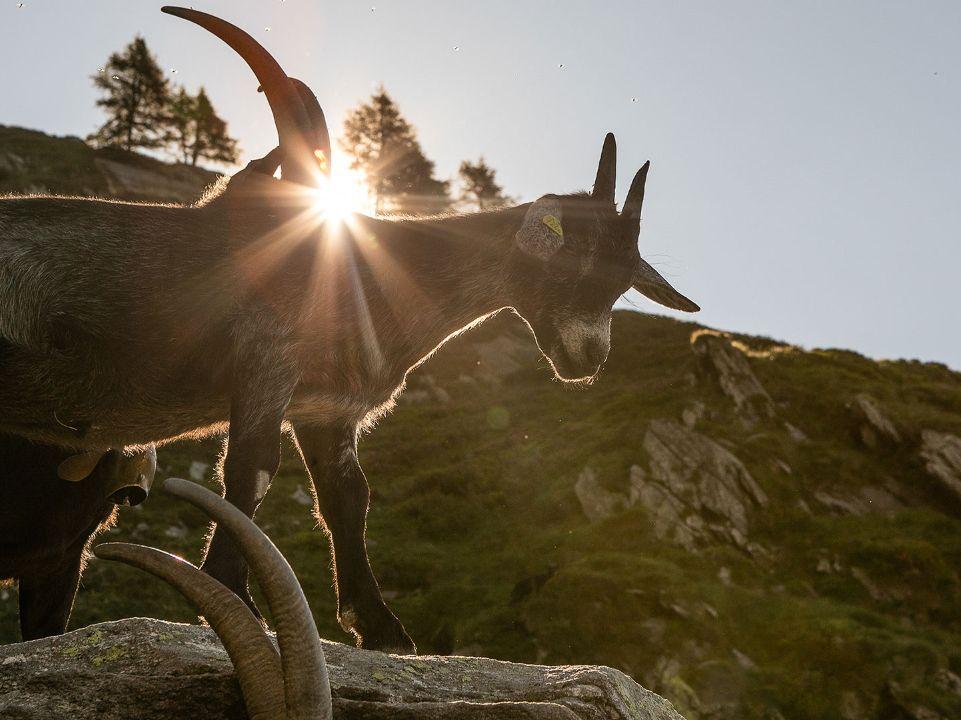 Alpe Nimi in Vallemaggia, capre di montagna. Via Ticino Turismo.